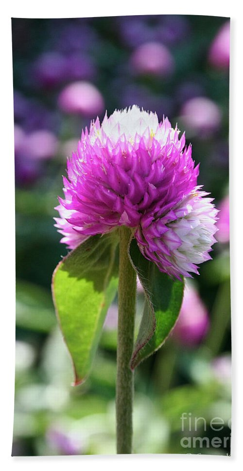 Outdoors Bath Sheet featuring the photograph Glowing Globe Amaranth by Susan Herber