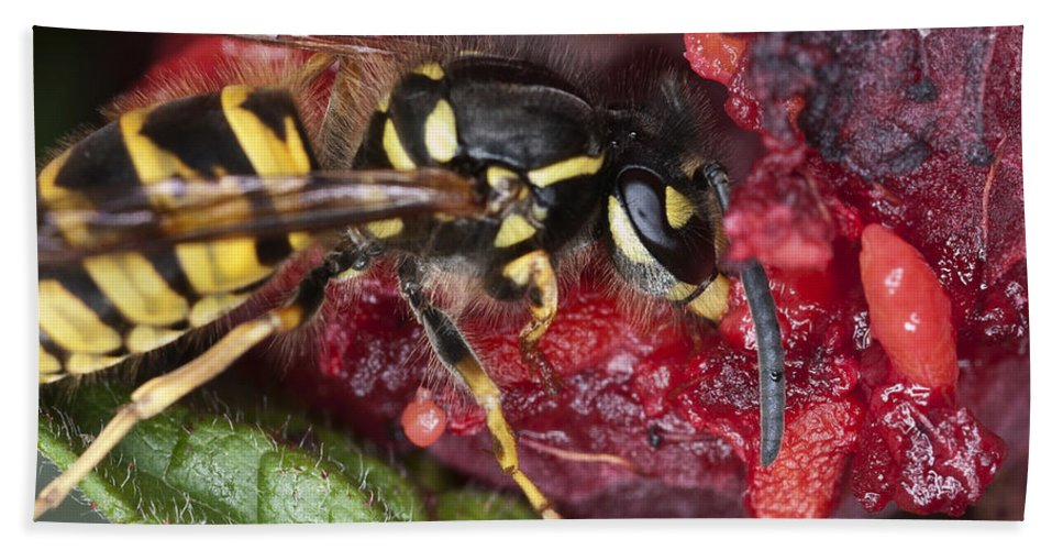 Wasp Bath Sheet featuring the photograph Go Away I'm Eating by Steve Purnell