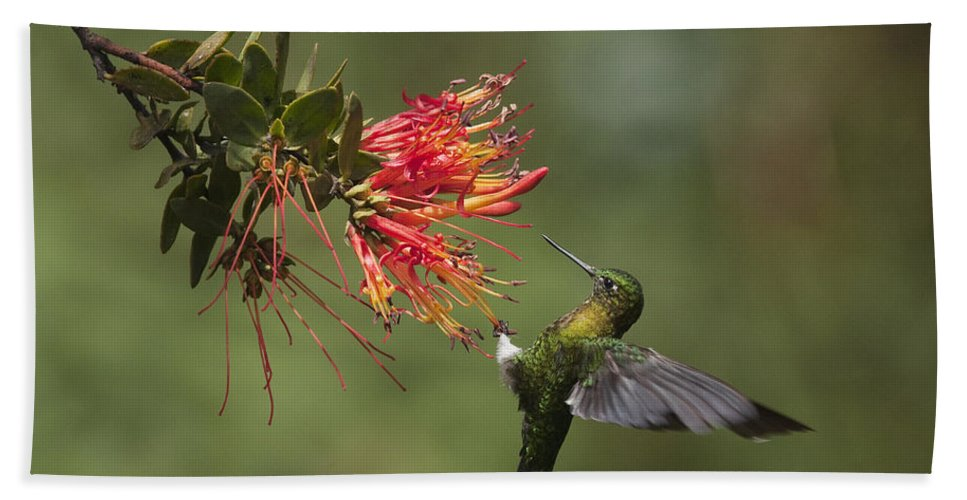 Mp Hand Towel featuring the photograph Golden-breasted Puffleg Eriocnemis by Murray Cooper
