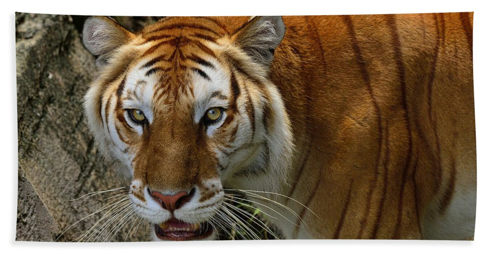 Tigers Bath Sheet featuring the photograph Golden Tabby Bengal Tiger by Bill Dodsworth