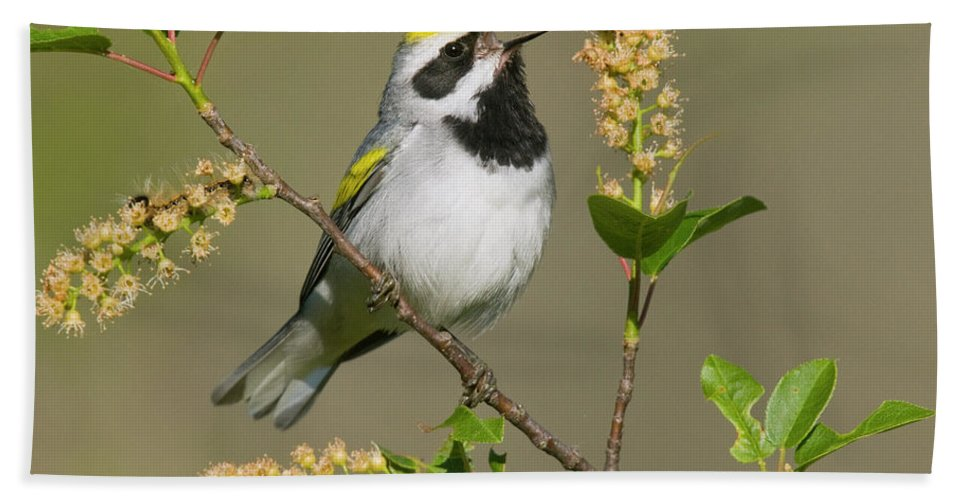 Mp Hand Towel featuring the photograph Golden-winged Warbler Vermivora by Steve Gettle