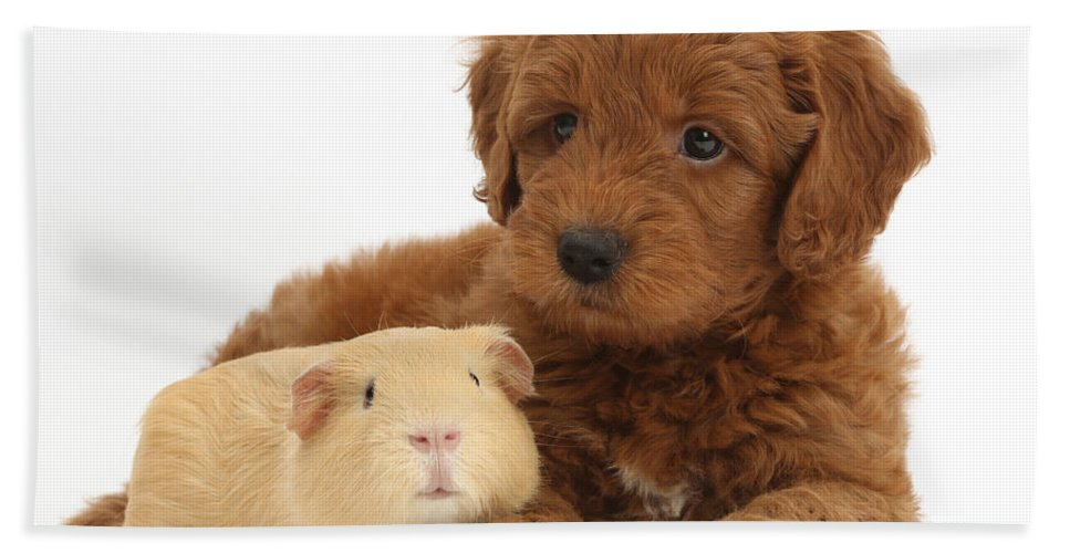 Nature Hand Towel featuring the photograph Goldendoodle Puppy And Guinea Pig by Mark Taylor