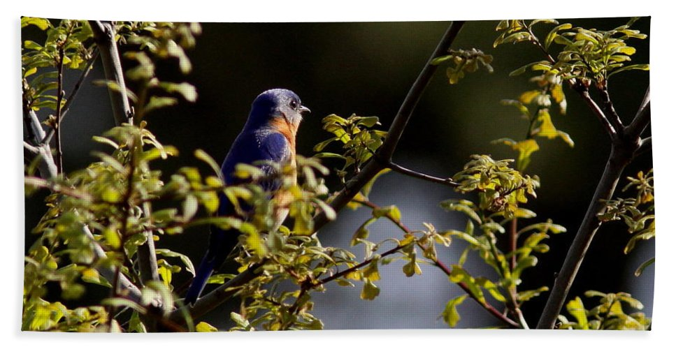 Eastern Bluebird Hand Towel featuring the photograph Good Morning Sunshine - Eastern Bluebird by Travis Truelove