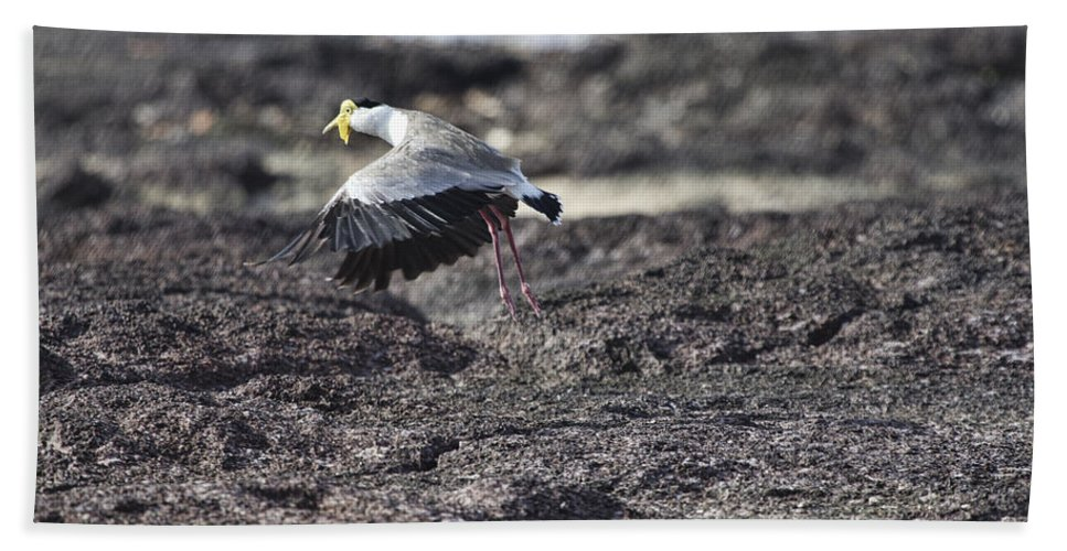 Masked Lapwing Bath Sheet featuring the photograph Gracious Ascent by Douglas Barnard