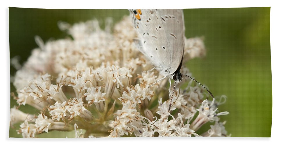 Grey Bath Sheet featuring the photograph Gray Hairstreak Butterfly On Milkweed Wildflowers by Kathy Clark