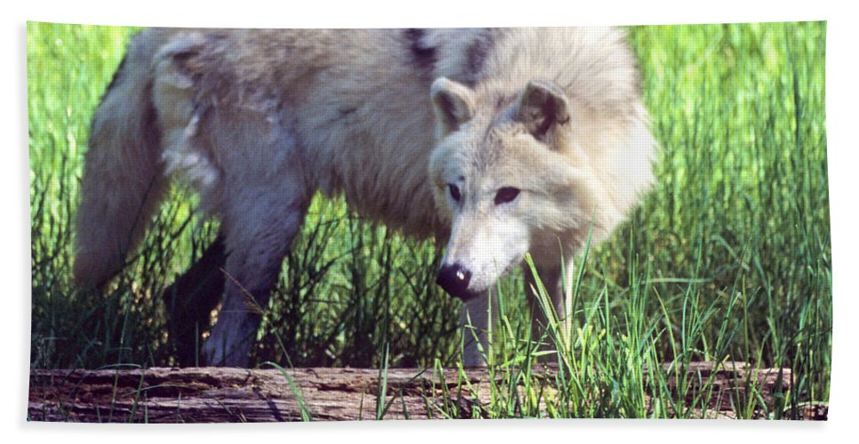 Gray Wolf Hand Towel featuring the photograph Gray Wolf Watching by Larry Allan