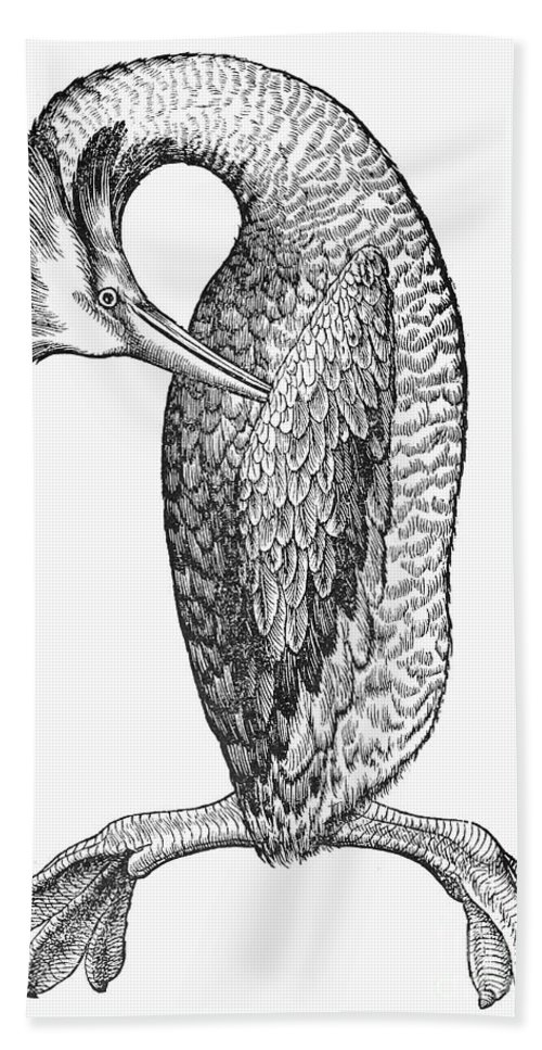 19th Century Hand Towel featuring the photograph Great Crested Grebe by Granger