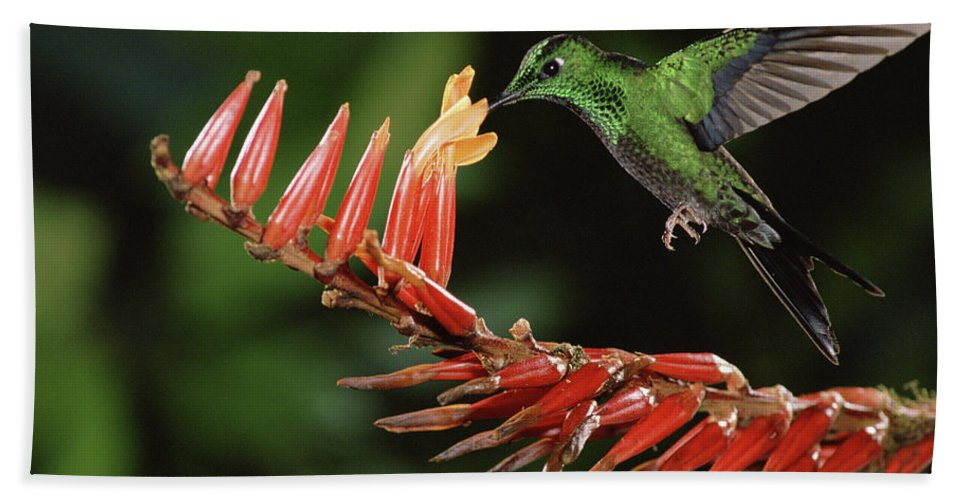 Mp Hand Towel featuring the photograph Green-crowned Brilliant Heliodoxa by Michael & Patricia Fogden