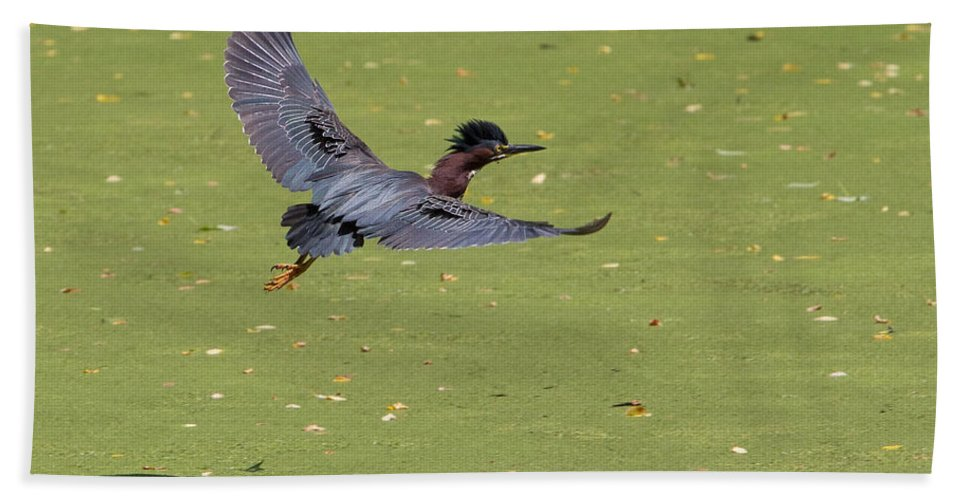 Green Heron Hand Towel featuring the photograph Green Heron In Flight by Stephanie McDowell