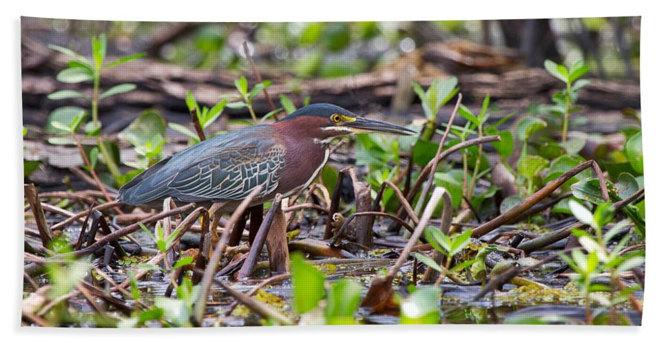 Green Heron Hand Towel featuring the photograph Green Heron by Louise Heusinkveld