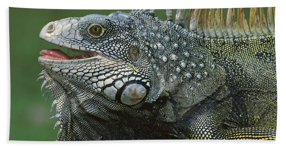 Mp Hand Towel featuring the photograph Green Iguana Barro Colorado Island by Christian Ziegler
