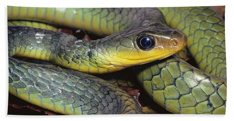 Mp Hand Towel featuring the photograph Green Racer Chironius Exoletus by Michael & Patricia Fogden