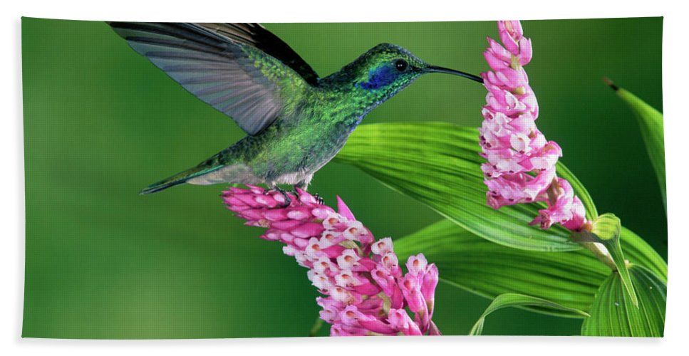 Mp Hand Towel featuring the photograph Green Violet-ear Colibri Thalassinus by Michael & Patricia Fogden