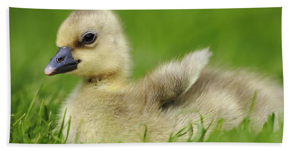 Mp Hand Towel featuring the photograph Greylag Goose Gosling by Cyril Ruoso
