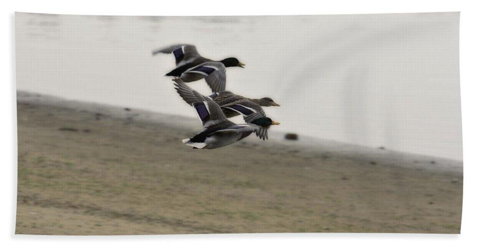 Ducks In Flight Bath Sheet featuring the photograph Grouping V2 by Douglas Barnard