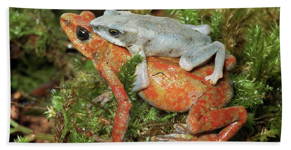 Mp Hand Towel featuring the photograph Harlequin Frog Atelopus Varius Pair by Michael & Patricia Fogden