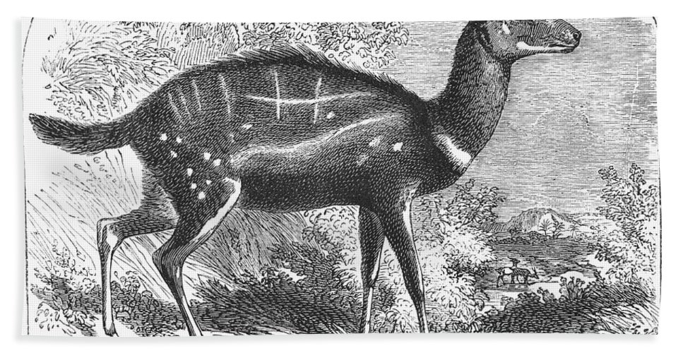 19th Century Hand Towel featuring the photograph Harnessed Antelope by Granger