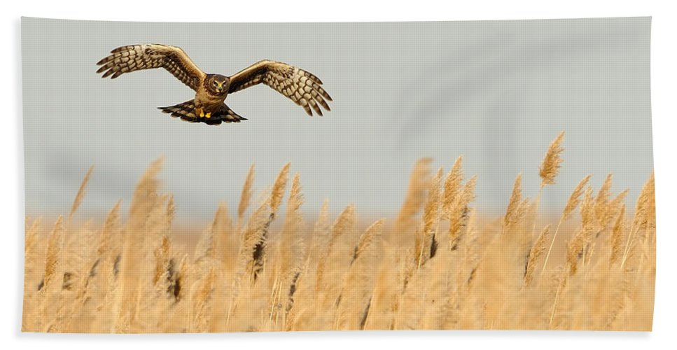Harrier Bath Sheet featuring the photograph Harrier O'er Amber Waves by William Jobes
