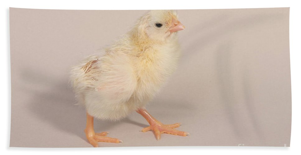 Chicken Hand Towel featuring the photograph Hatching Chicken 22 Of 22 by Ted Kinsman