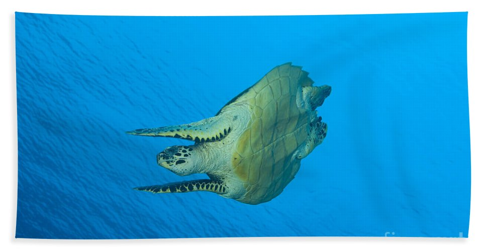 Cheloniidae Bath Sheet featuring the photograph Hawksbill Turtle In The Diving by Steve Jones