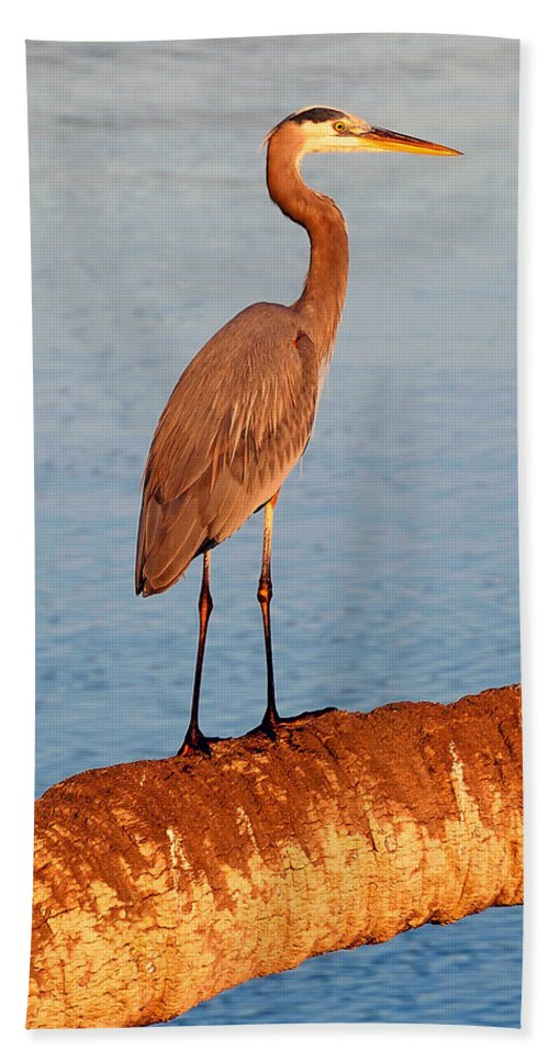 Wildlife Photography Bath Sheet featuring the photograph Heron On Palm by David Lee Thompson