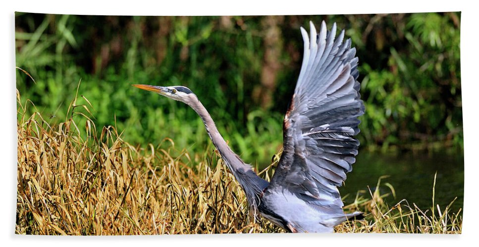 Great Blue Heron Hand Towel featuring the photograph Heron Taking To Flight by Bill Dodsworth