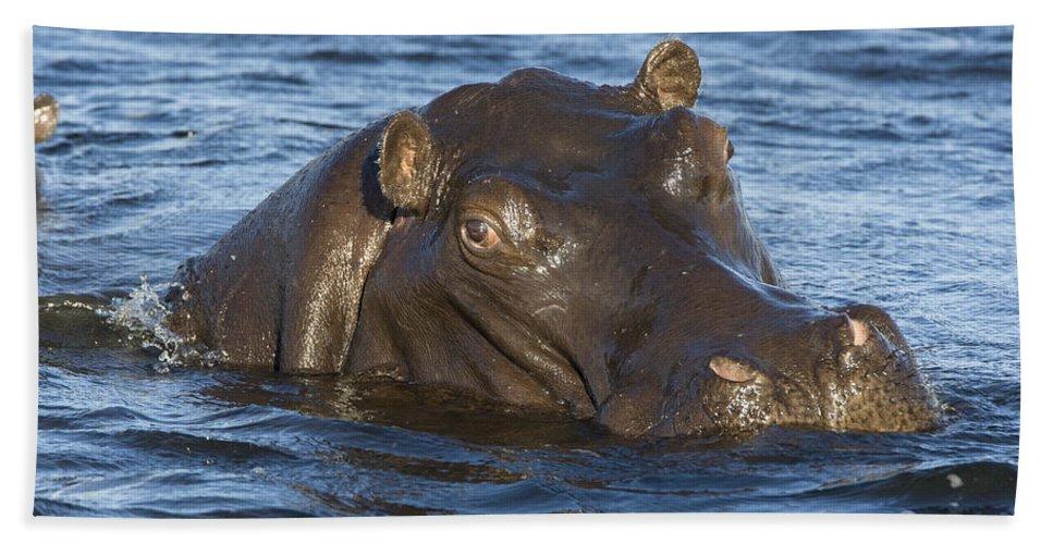 Mp Hand Towel featuring the photograph Hippopotamus Hippopotamus Amphibius by Suzi Eszterhas
