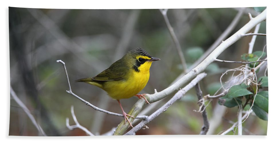 Doug Lloyd Hand Towel featuring the photograph Hooded Warbler by Doug Lloyd