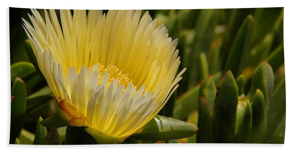 Central Coast Hand Towel featuring the photograph Ice Plant Bloom by Mick Anderson