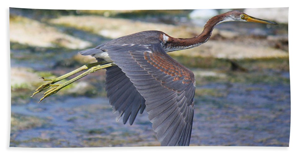 Roena King Hand Towel featuring the photograph Immature Tricolored Heron Flying by Roena King
