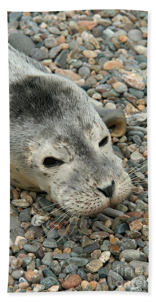 Fauna Hand Towel featuring the photograph Injured Harbor Seal by Ted Kinsman