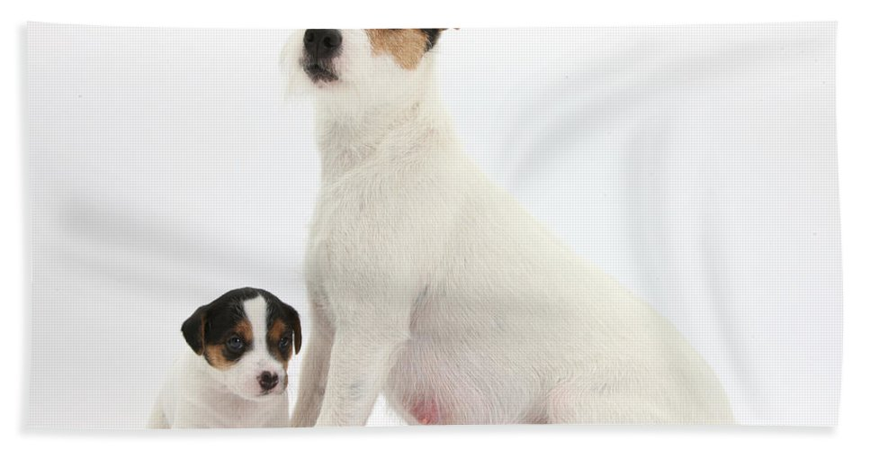 Animal Hand Towel featuring the photograph Jack Russell Terrier Mother And Puppy by Mark Taylor