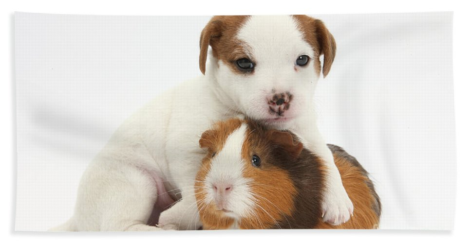 Jack Russell Terrier Hand Towel featuring the photograph Jack Russell Terrier Puppy And Guinea by Mark Taylor