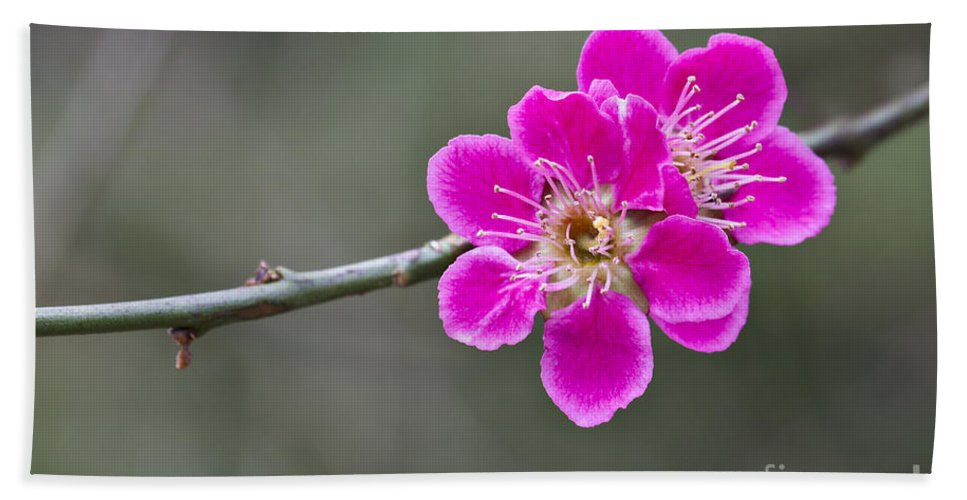 April Hand Towel featuring the photograph Japanese Flowering Apricot. by Clare Bambers