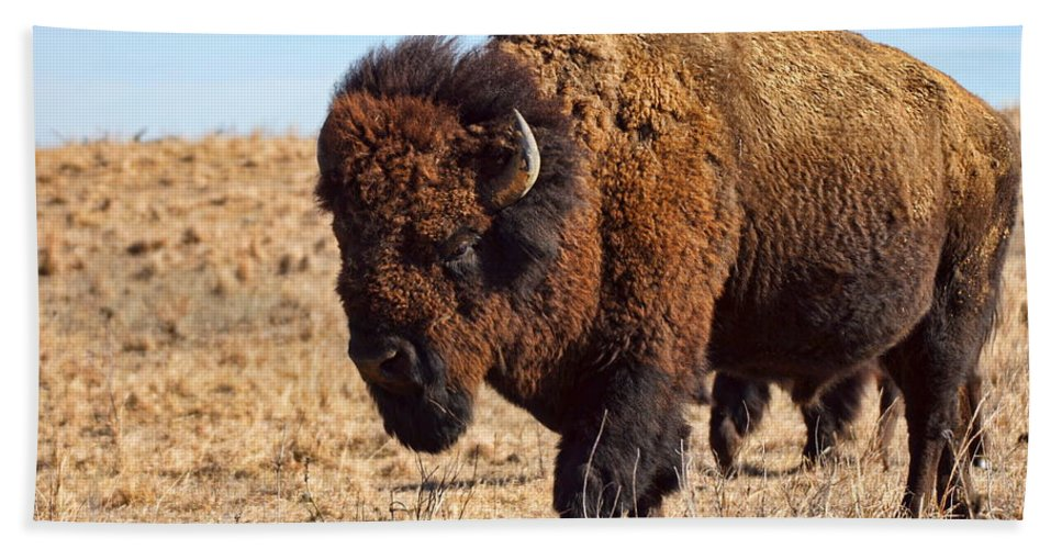 Kansas Bath Sheet featuring the photograph Kansas Buffalo by Alan Hutchins