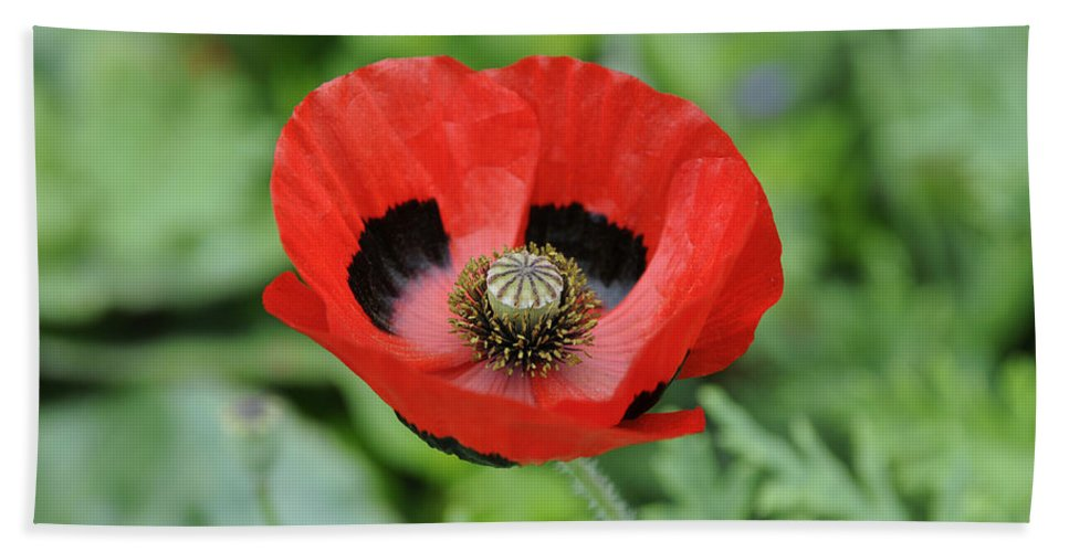 Vp Hand Towel featuring the photograph Ladybird Poppy Papaver Commutatum by VisionsPictures