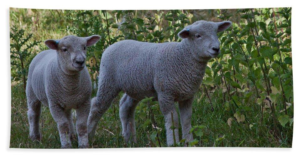 Lamb Bath Sheet featuring the photograph Lambs by Dawn OConnor