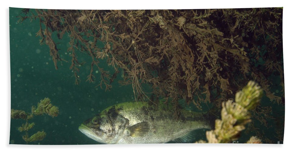 Fish Hand Towel featuring the photograph Largemouth Bass by Ted Kinsman