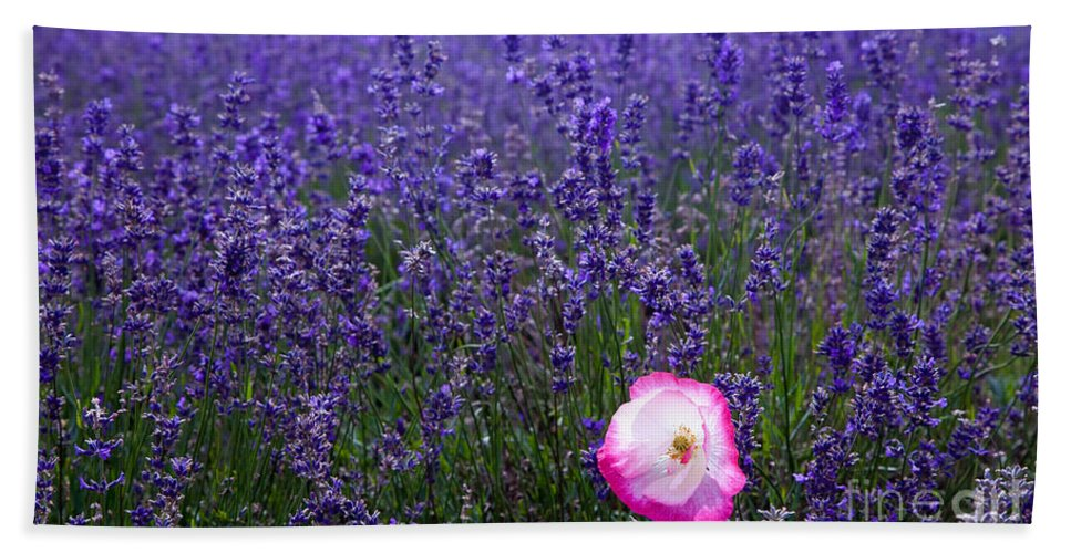 Abundance Hand Towel featuring the photograph Lavender Field With Poppy by Simon Bratt Photography LRPS