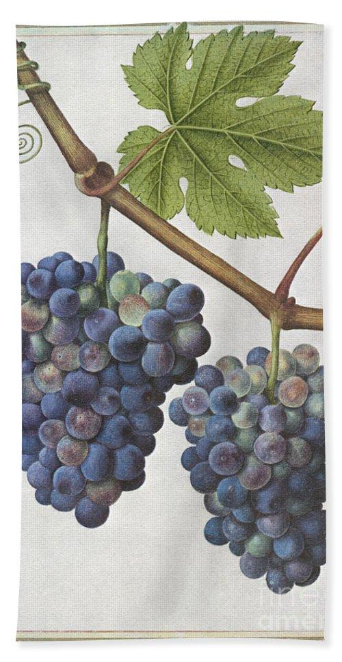 1585 Bath Sheet featuring the photograph Le Moyne: Grape Vine, C1585 by Granger