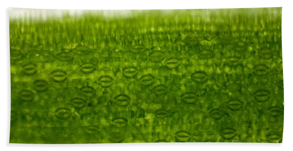 Epidermis Hand Towel featuring the photograph Leaf Stomata, Lm by Ted Kinsman