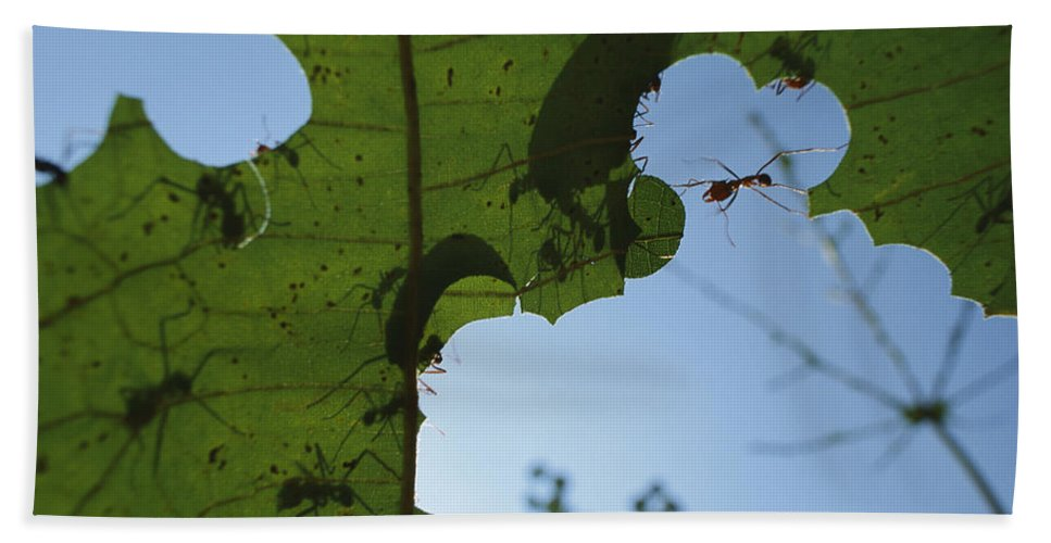 Mp Hand Towel featuring the photograph Leafcutter Ant Atta Columbica Workers by Christian Ziegler