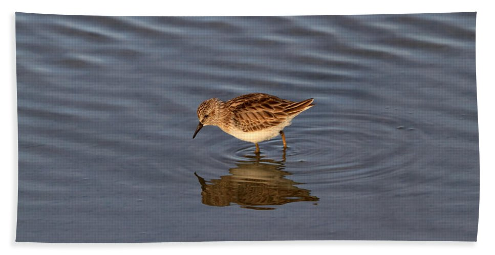 Sandpiper Bath Sheet featuring the photograph Least Sandpiper by Louise Heusinkveld