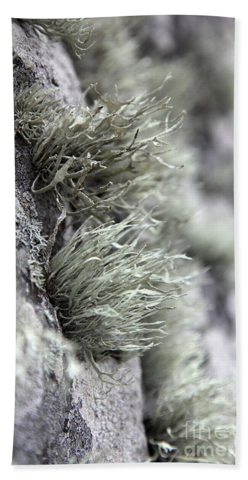 Biological Hand Towel featuring the photograph Lichen Niebla Podetiaforma by Ted Kinsman
