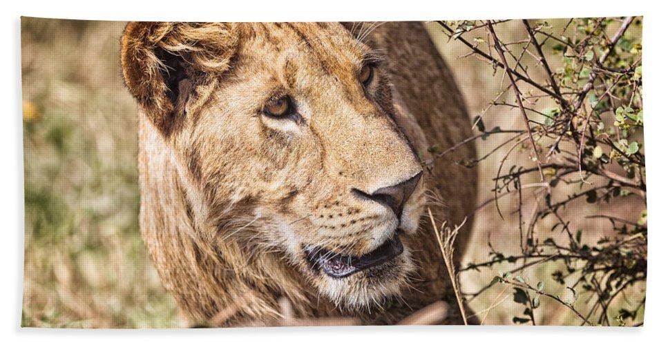 Lioness Bath Sheet featuring the photograph Lioness Hiding by Perla Copernik