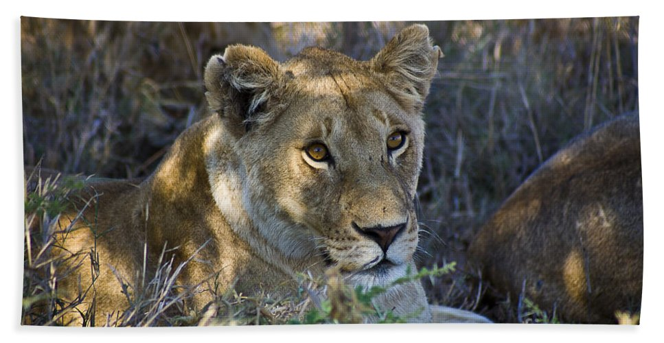 Africa Bath Sheet featuring the photograph Lioness With Pride In Shade by Darcy Michaelchuk
