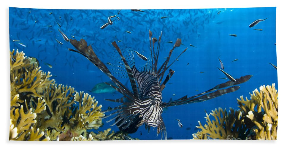 Fish Bath Sheet featuring the photograph Lionfish Foraging Amongst Corals by Steve Jones