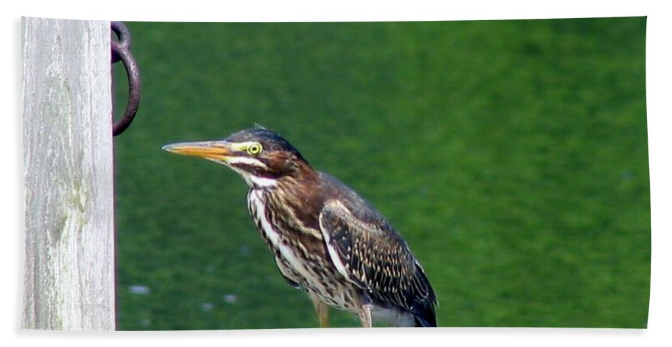 Heron Hand Towel featuring the photograph Little Green Heron by Art Dingo