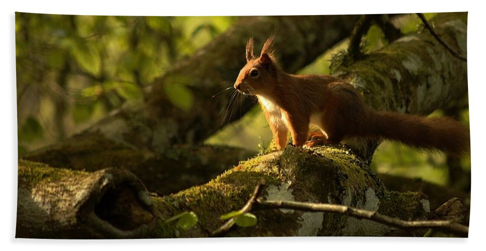 Red Squirrel Hand Towel featuring the photograph Little Red by Gavin Macrae