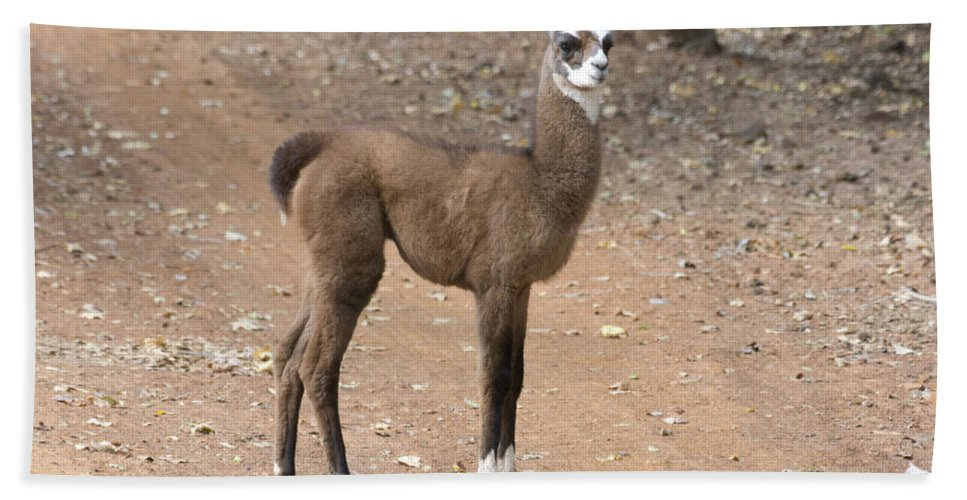 Lama Juvenile Hand Towel featuring the photograph Little Two-toner by Douglas Barnard